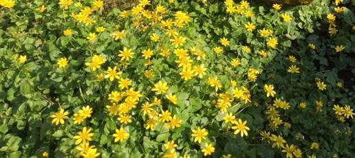 image of abundance of yellow Celandine flowers