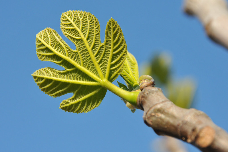 image of young fig leaf